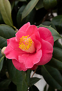 Camellia japonica, a deep pink camellia with yellow centre blooming in February in the conesrvatory at Chiswick House, Chiswick, London, UK