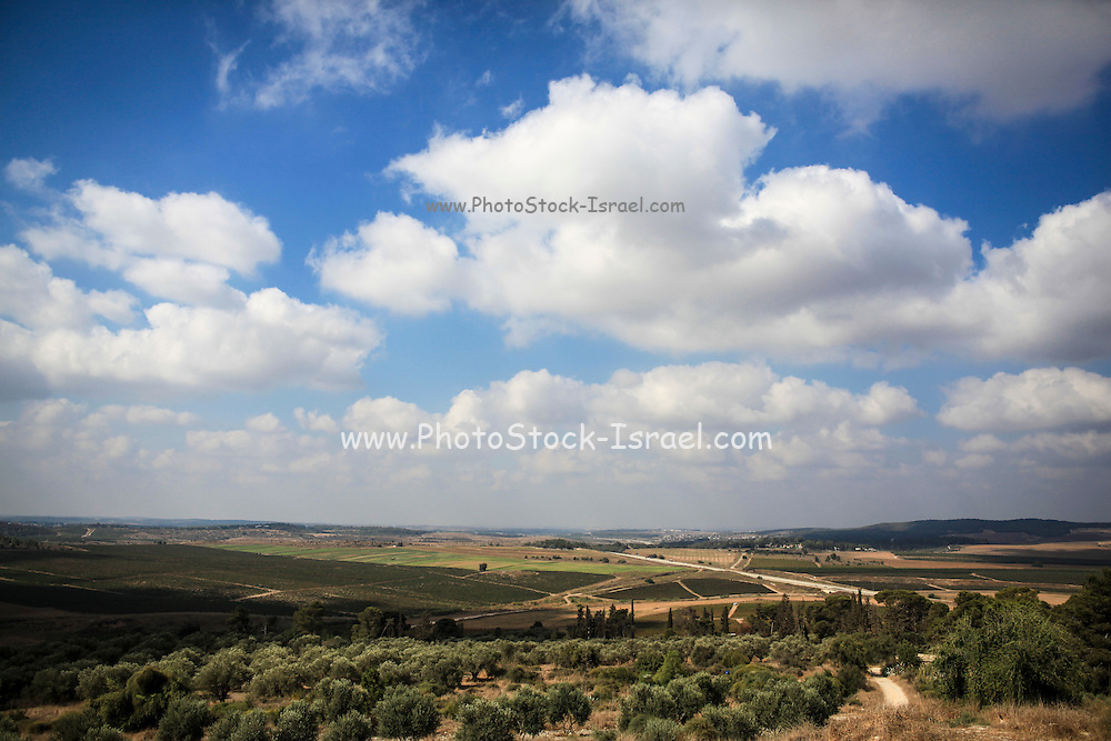 Landscape with Olive trees. Photographed in Israel