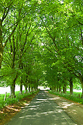 Avenue of beech trees , Asthall, the Cotswolds, Oxfordshire, UK