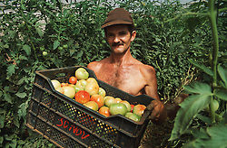 Man working in greenhouse near Havana Cuba carrying box of tomatoes grown for the tourist market,