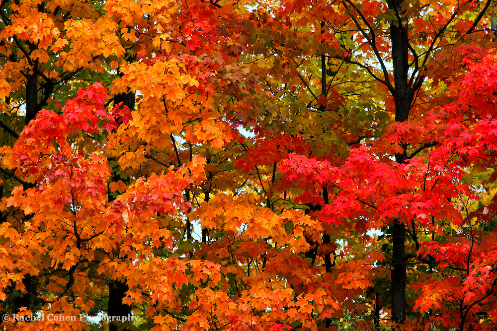 """""""Take a Peak""""<br /> <br /> Some autumn eye candy for you in this beautiful fall foliage image! Wonderful red, orange and golden leaves contrast with the dark wet tree trunks on a rainy fall day in Michigan!!<br /> <br /> Fall Foliage by Rachel Cohen"""