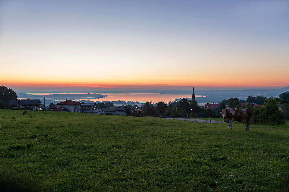 Cow on pasture during sunset, Bavaria, Germany
