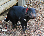"""A captive Tasmanian devil stands in a pen at Bonorong Wildlife Park, Briggs Road, Brighton, Tasmania, Australia. The Tasmanian devil (Sarcophilus harrisii) is a carnivorous marsupial of the family Dasyuridae, now found in the wild only on the island state of Tasmania. The devil is an iconic symbol of Tasmania and attractor of tourists, many of whom know the Looney Tunes cartoon character, the """"Tasmanian Devil."""" Ancient marsupials probably migrated from what is now South America to Australia tens of millions of years ago during the time of Gondwana. Tasmanian devils probably disappeared from the Australian mainland around 3000 years ago due to predation by dingoes (wild dogs probably introduced by aborigines much earlier), which are absent on Tasmania. Formerly hunted by humans, the devils became officially protected in 1941. Since the late 1990s, devil facial tumor disease has drastically reduced devil numbers, and in 2008 the species was declared endangered. Illegally introduced red foxes kill devils, and motor vehicles dispatch devils that are on the road eating other road kill. Due to export restrictions and the failure of overseas devils to breed, almost no devils live legally outside of Australia. The size of a small dog, the Tasmanian devil became the largest carnivorous marsupial in the world following the extinction of the thylacine in 1936. It has a stocky and muscular build, black fur, pungent odor, extremely loud and disturbing screech, keen sense of smell, and ferocity when feeding. It has an exceptionally strong bite, hunts prey, scavenges carrion, climbs trees, and swims across rivers."""