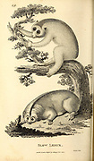 Slow Lemur from General zoology, or, Systematic natural history Part I, by Shaw, George, 1751-1813; Stephens, James Francis, 1792-1853; Heath, Charles, 1785-1848, engraver; Griffith, Mrs., engraver; Chappelow. Copperplate Printed in London in 1800. Probably the artists never saw a live specimen