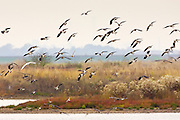 Migratory Lapwings and waders at the Thames Estuary.  It is feared that Avian Flu (Bird Flu) could be brought to Britain from Europe by migrating birds.