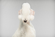 Poodle with crazy haircut in my studio for pet portrait