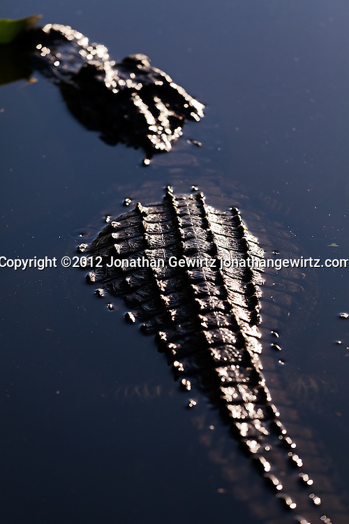 An American Alligator (Alligator mississippiensis) rests in a pond in the Shark Valley section of Everglades National Park, Florida. WATERMARKS WILL NOT APPEAR ON PRINTS OR LICENSED IMAGES.