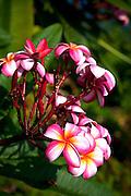 Plumeria flower, Kealakekua Bay, Island Of Hawaii
