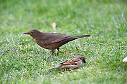 UK, March 7 2017:  An adult female Blackbird (Turdus merula) stands on a lawn next to a sparrow (in front). Copyright 2017 Peter Horrell.