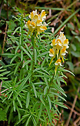 Close up of toadflax plant and flowers