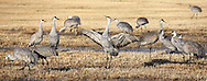 Sandhill crane performing a courtship dance at Bosque del Apache Wildlife Refuge.