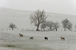 © Licensed to London News Pictures. 06/02/2021. Llanfihangel Nant Melan, Powys, Wales, UK. Sheep in a wintry landscape near Llanfihangel nant Melan in Powys, Wales, UK. Photo credit: Graham M. Lawrence/LNP