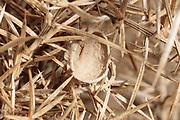 Heath potter wasp (Eumenes coarctatus) constructing clay nest pot on gorse. Dorset, UK.