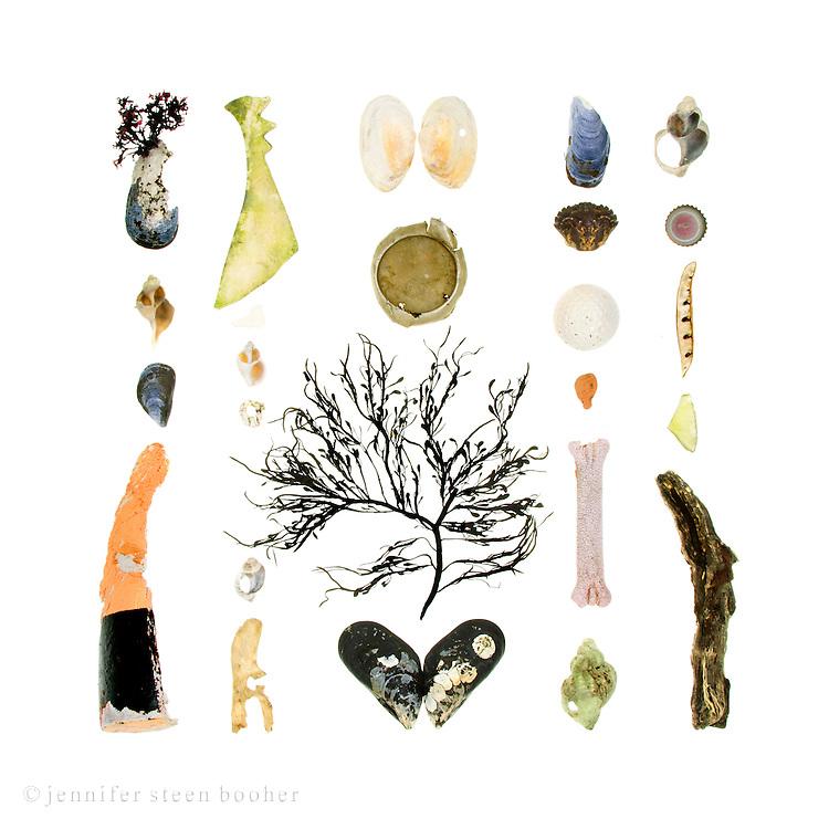 Blue Mussel (Mytilus edulis), Waved Whelk (Buccinum undatum), part of a lobster buoy, bone and plastic fragments, Dog Whelk (Nucella lapillus), Barnacle (Balanus balanoides), Knotted Wrack (Ascophyllum nodosum), aluminum can bottom, Soft-shell Clam (Mya arenaria) , Green Crab (Carcinus maenas), golf ball, sea brick, dog toy, bottle cap, beach pea pod, sea glass, and driftwood.