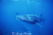 underwater photographer and whale shark, Rhincodon typus, Endangered Species, off Ningaloo Reef, Western Australia ( Indian Ocean )