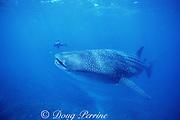underwater photographer and whale shark, Rhincodon typus, Endangered Species, off Ningaloo Reef, Western Australia ( Indian Ocean )