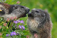 Marmots feeding on flowers.<br /> marmot; mammals; vertebrates; nature; mountains; national park; Hohe Tauern; Alps; Austria; Europe