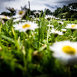 Weedy Daisies and grass, Kirkcaldy 15th June, 2015