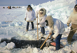 Securing Block & Tackle To Bowhead Whale