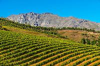 Vineyards, Delaire Graff Wine Estate atop Helshoogte Pass, near Stellenbosch, Cape Winelands (near Cape Town), South Africa.
