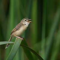 The plain prinia (Prinia inornata), also known as the plain wren-warbler or white-browed wren-warbler, is a small cisticolid warbler found in southeast Asia. Shoen is fledgling, note how its beak is still yellow as it has not fully grown into the adult state and colouration.