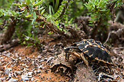 Spider tortoise (Pyxis arachnoides)<br /> Berenty<br /> South Madagascar<br /> MADAGASCAR<br /> ENDEMIC<br /> CRITIUCALLY ENDANGERED