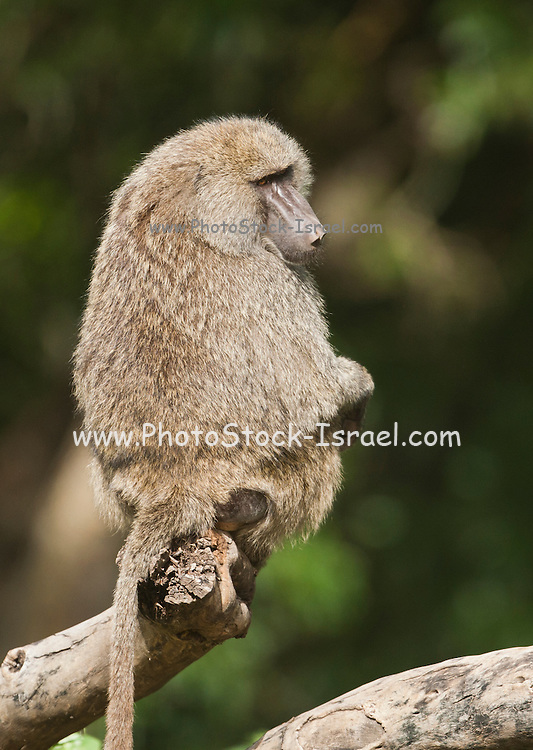 Olive baboon (Papio anubis). Photographed in Tanzania