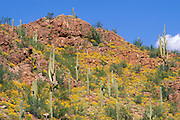 Saguaro Cactus and Brittlebush in the Tucson Mountains, Saguaro National Park, Arizona