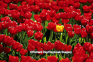 67221-00404 Lone Yellow Tulip in Red Tulip field  Skagit Valley  WA