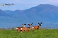 Mule deer bucks in velvet antlers with Highwood Mountains in background near Coffee Creek, Montana, USA