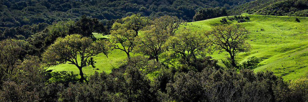 Panoramic scene of oak trees on a verdant green California hillside in spring