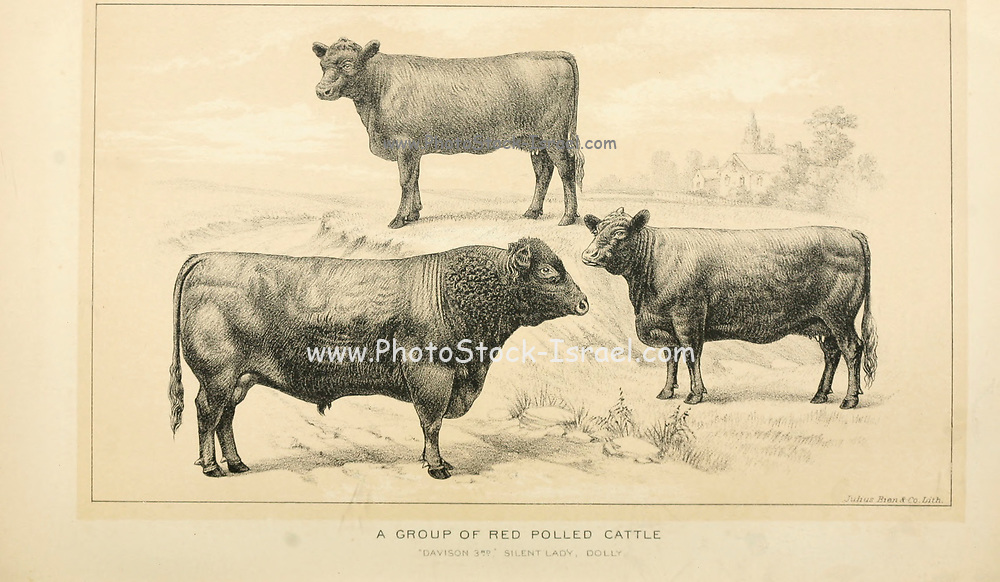 Red Polled Cattle  from Cattle and dairy farming. Published 1887 by Govt. Print. Off. in Washington. United States. Bureau of Foreign Commerce (1854-1903)