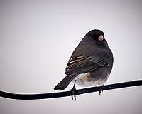 Dark-eyed Junco. Image taken with a Nikon D5 camera and 600 mm f/4 VR lens (ISO 500, 600 mm, f/4, 1/640 sec)