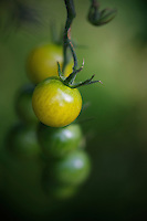 Yellow cherry tomatoes growing on a vine.