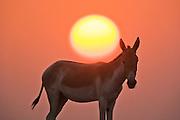 A portrait of an Indian wild ass ( Asinus hemionus khur ) facing us while the golden globe of a setting sun descends above its back , Little Rann of Kutch, Gujarat, India