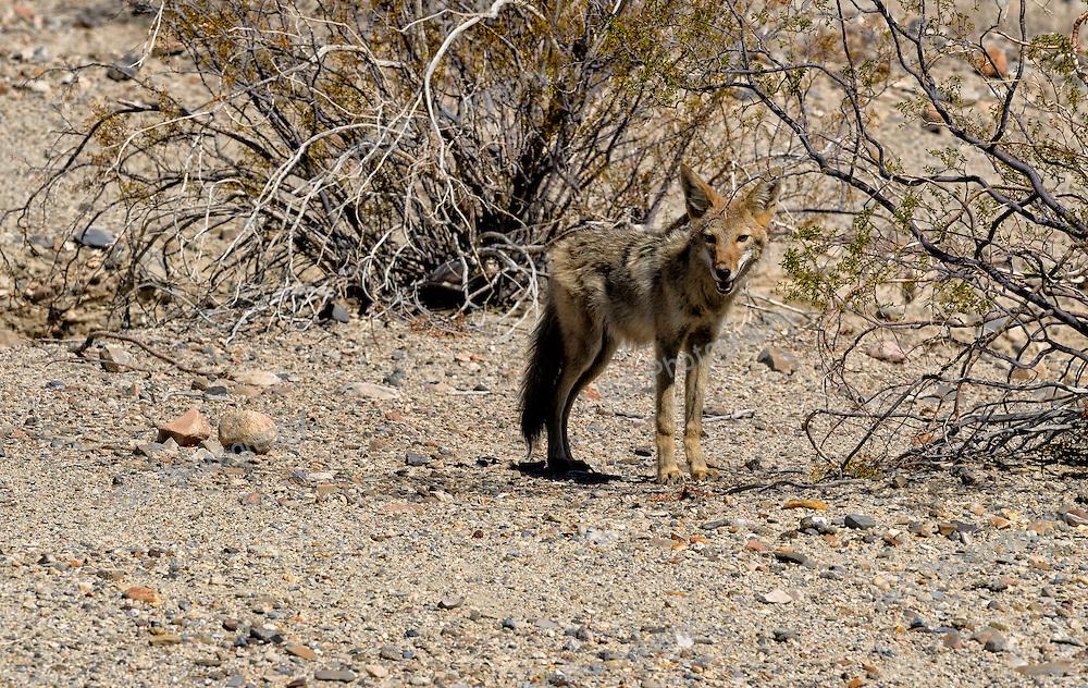 Coyote, American jackal or prairie wolf, surviving in dry desert conditions