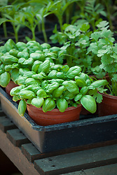 Young plants of Sweet Basil and Coriander sativum (Cilantro) sitting in a plastic tray on a greenhouse potting bench
