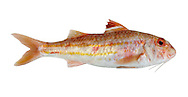 Striped Red Mullet Mullus surmuletus Length to 40cm<br /> Striking, colourful fish. Sometimes found inshore, on sandy and muddy substrates. Adult has a powerful, thickset body. Head is relatively large and blunt, with 2 barbels. Overall colour is red with darker and yellow lengthways stripes on sides. 1st dorsal fin is striped. Fairly common in S and SW.