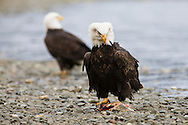 A bald eagle (Haliaeetus leucocephalus) with a salmon strikes a defensive posture with ruffled feathers to ward off other eagles as it feeds on the bank of the Chilkat River in the Chilkat Bald Eagle Preserve near Haines in Southeast Alaska. Winter. Afternoon