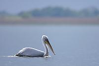 Dalmatian Pelican (Pelecanus crispus) in the Danube Delta, Romania. May 2009 <br /> Mission: Danube Delta