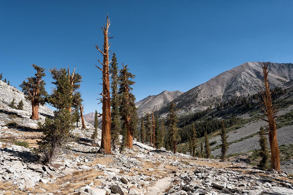 Ancient trees adorn the John Muir Trail between Dollar and Rae Lakes.