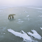 Polar Bear on Hudson Bay at Cape Churchill, Canada.