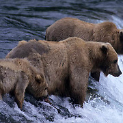 Alaskan brown bear (Ursus middendorffi) sow and cubs fishing for salmon. Brooks River, Alaska