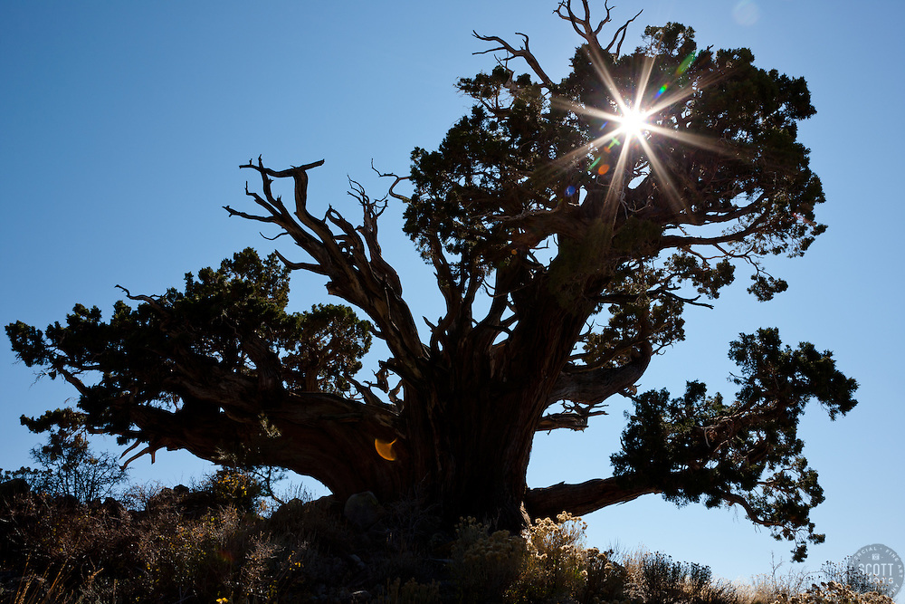 """""""Juniper Tree 1"""" - This very old juniper tree was photographed along Monitor Pass, California."""