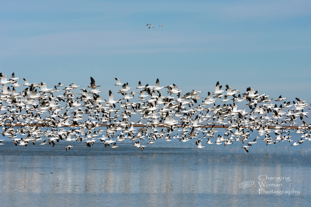 Migrating wild geese fly above open blue water at Bombay Hook National Wildlife Refuge.