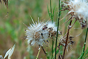 close up of a Silybum eburneum Milk Thistle. Photographed in Israel in May