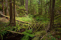 Old growth forests are ideal for keeping waters cool year round. Esential for the development of eggs and young smolts.