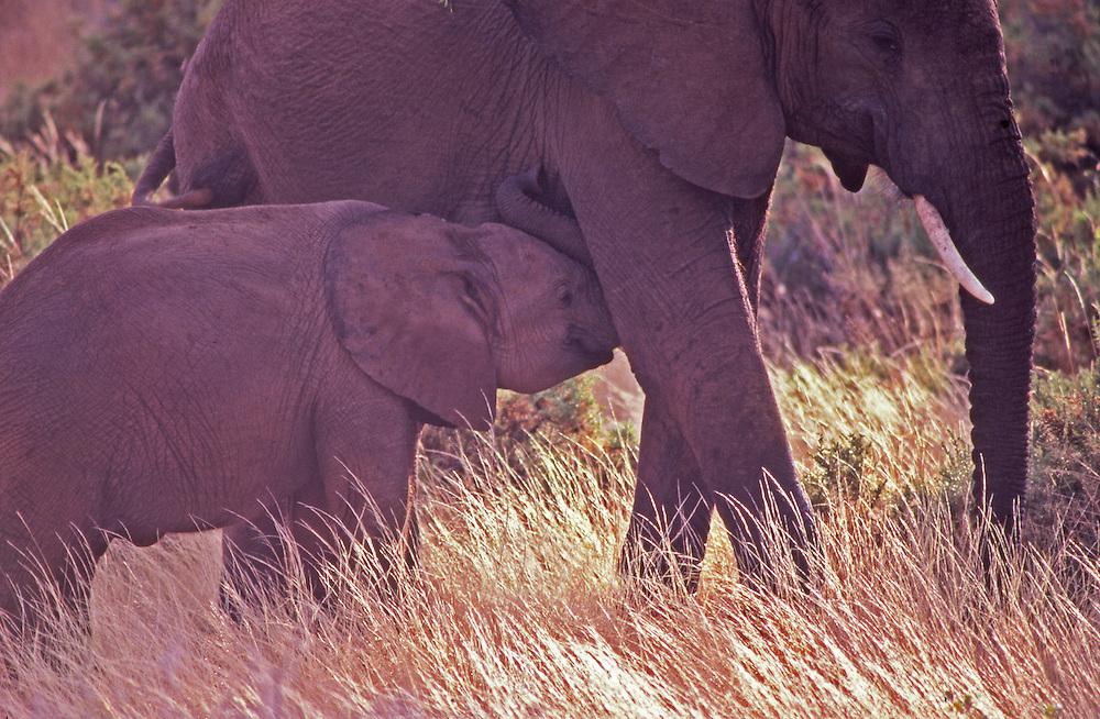 African wildlife, elephant and suckling baby in Maasai Mara, Kenya