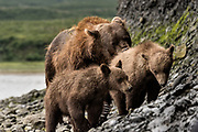 A brown bear sow known as Bearded Lady watches over her spring cubs at the McNeil River State Game Sanctuary on the Kenai Peninsula, Alaska. The remote site is accessed only with a special permit and is the world's largest seasonal population of brown bears in their natural environment.