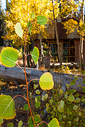 """""""Aspen in Tahoe 6"""" - Photograph of aspen leaves turning in to their yellow fall colors."""